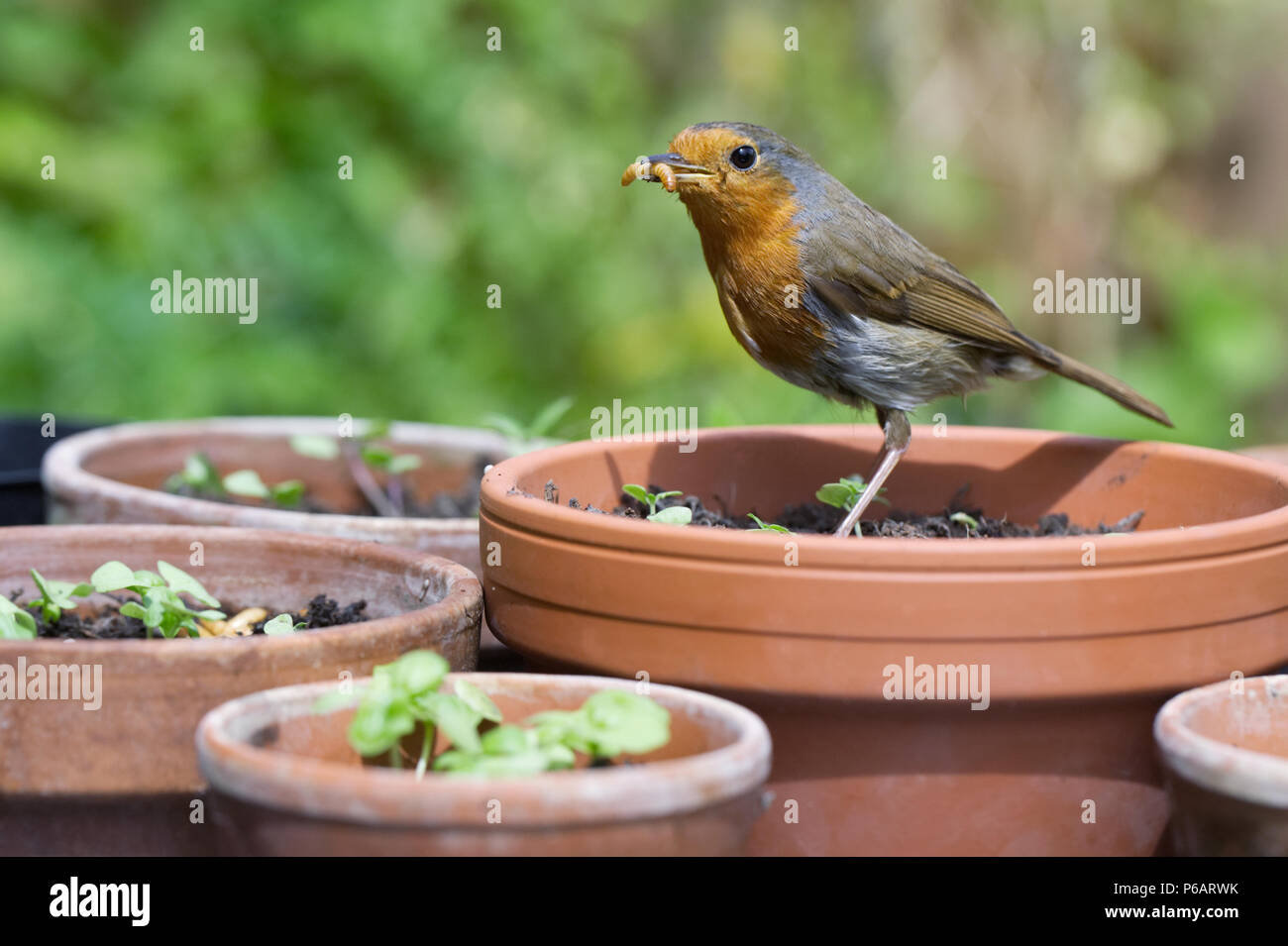 Erithacus rubecula. Robin feeding on mealworms in an English garden. - Stock Image