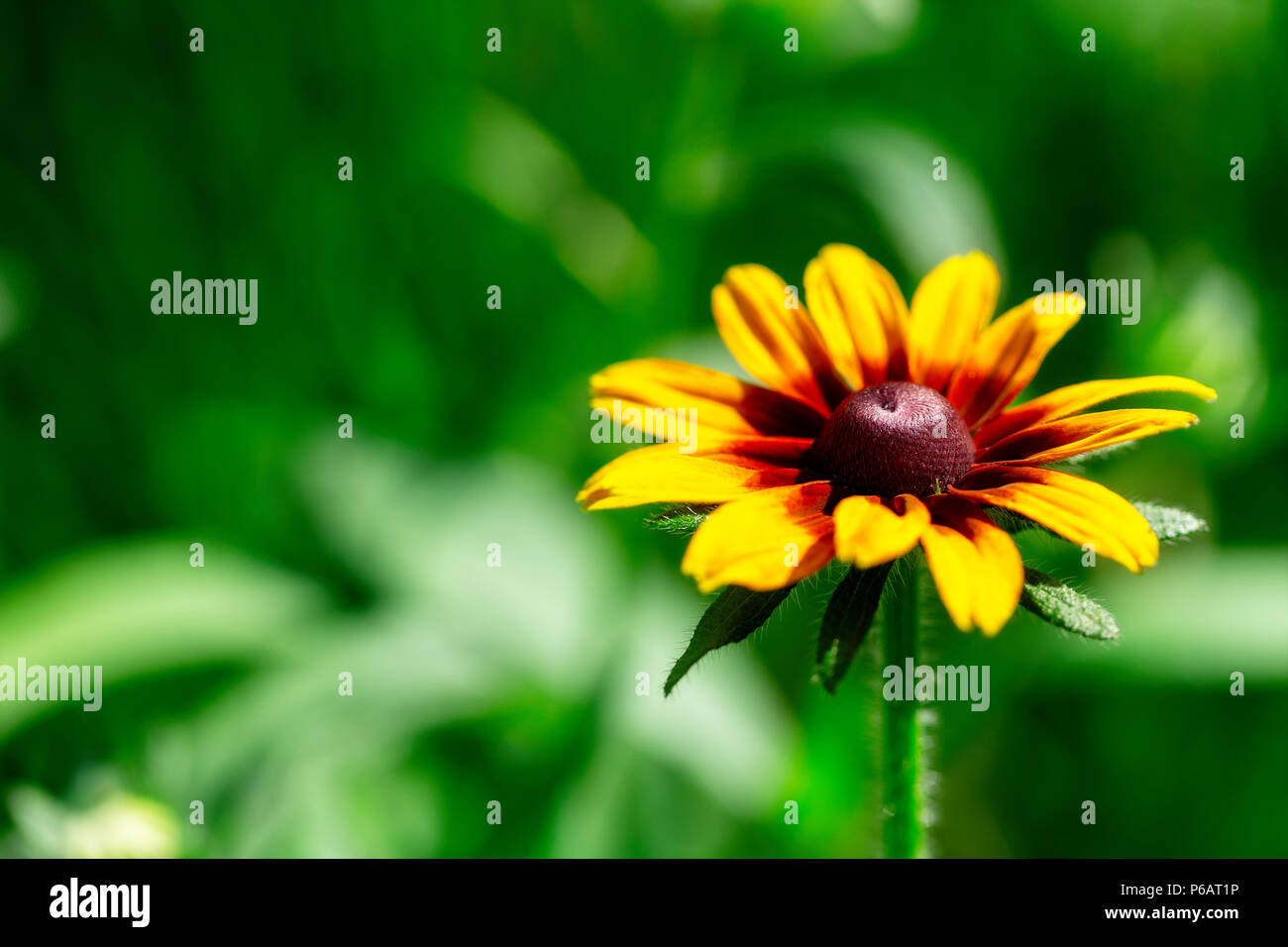 Close Up Of Multicolor Red Yellow Aster Flower On Green Blurred