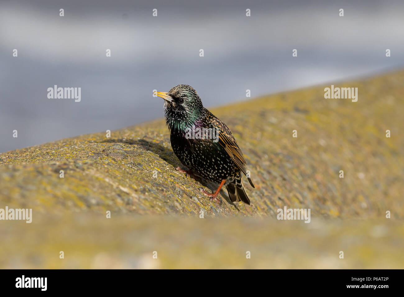 Single Adult Starling, Sturnus vulgaris, UK Stock Photo
