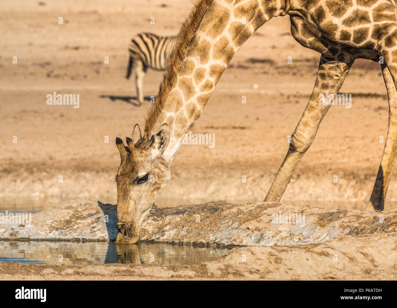 Giraffes and zebras gather for a late afternoon drink at the Nebrownii waterhole, Okaukeujo, Etosha National Park, Namibia - Stock Image