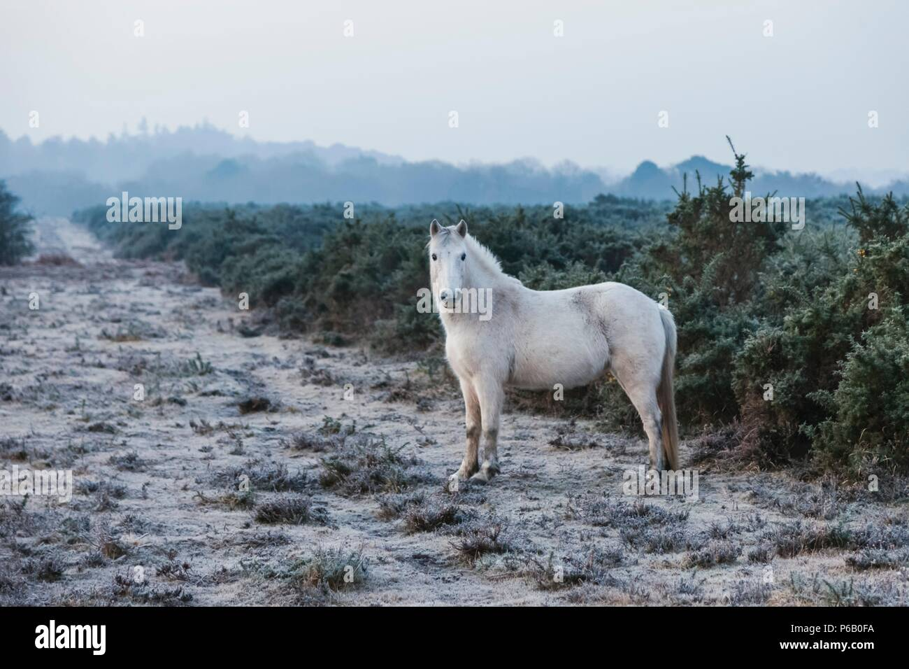 England, Hampshire, The New Forest, Pony - Stock Image