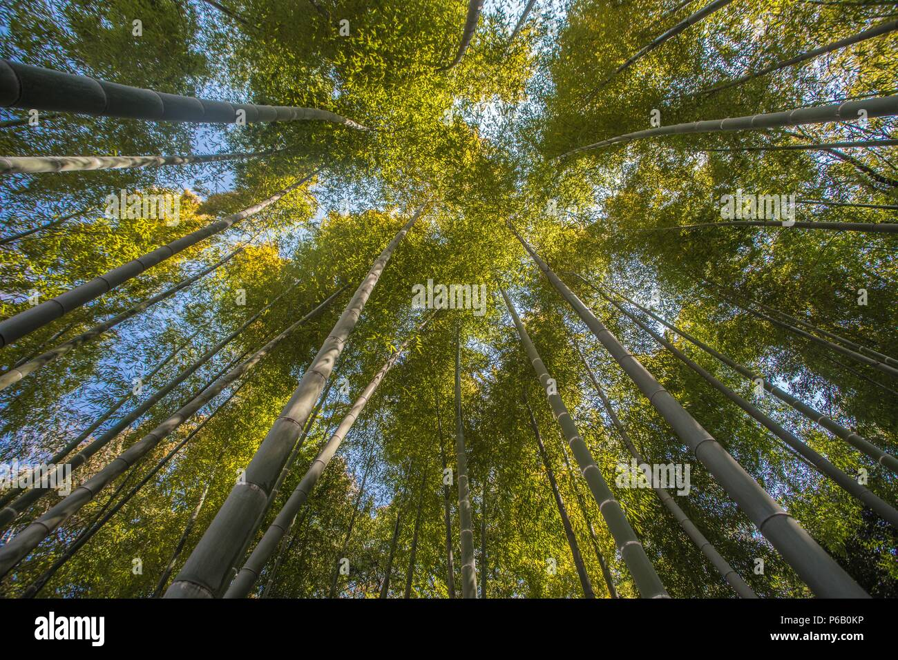 Japan, Tokyo City, Imperial East Gardens, Bambu wood Stock Photo