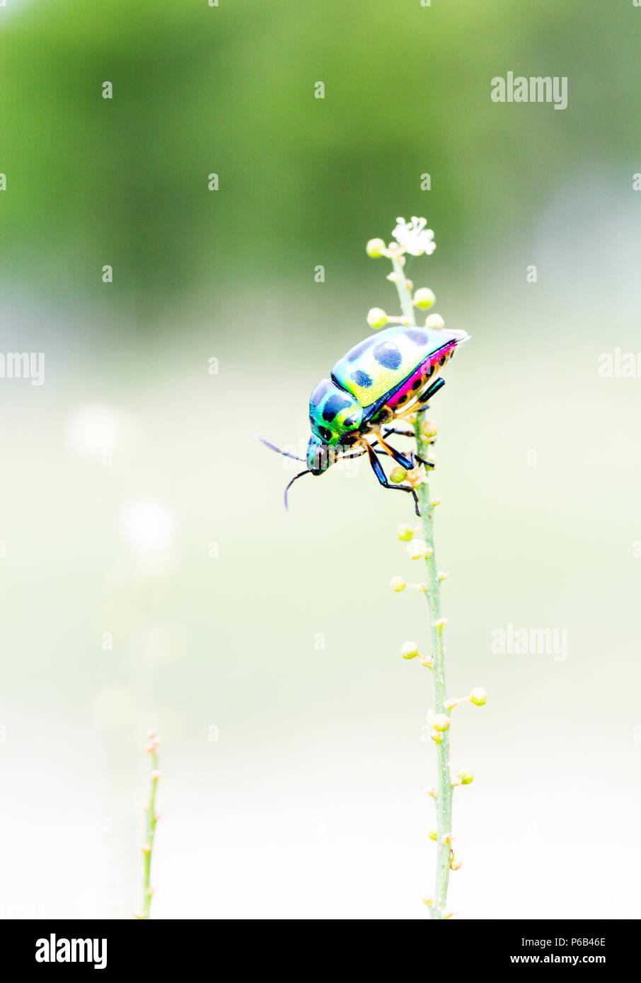 Chrysocoris stollii, jewel beetle, metallic shield bug - Stock Image