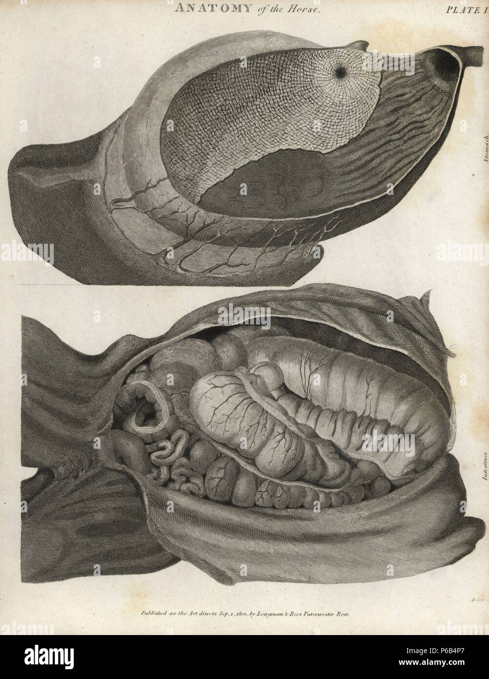 Anatomy of the horse: stomach and intestines. Copperplate engraving ...
