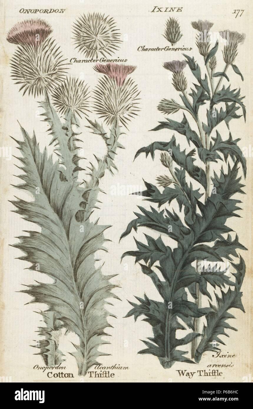 Common Or Scotch Thistle Onopordon Acanthium And Way Thistle Cirsium Arvense Handcoloured