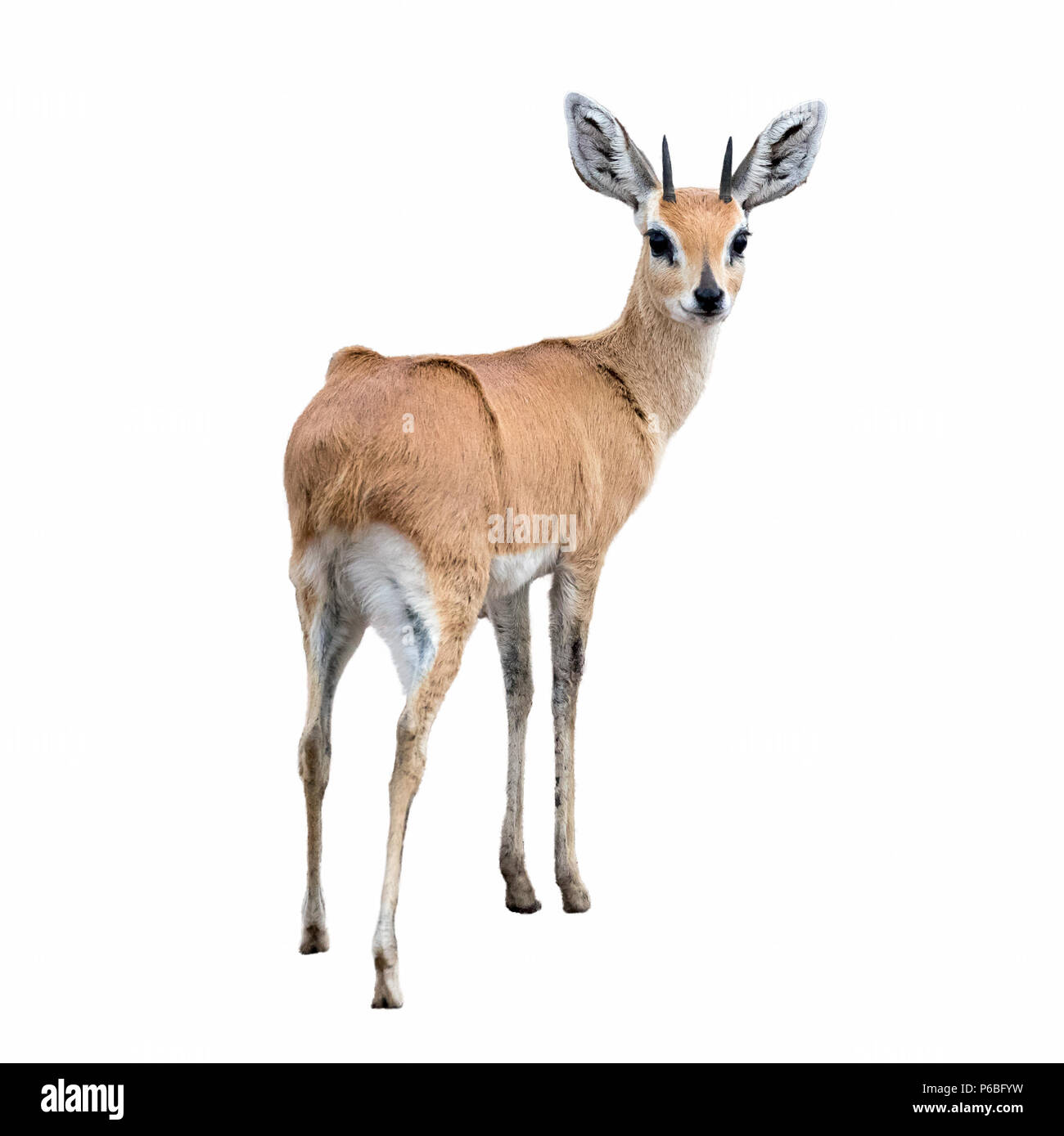 An adult steenbok isolated on white background. The steenbok is the smallest antelope in Southern and Eastern Africa. - Stock Image