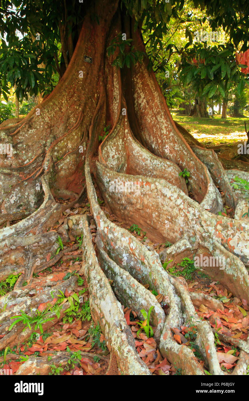 Sri Lanka, Kandy, Peradeniya Botanical Gardens, fig tree, roots, - Stock Image
