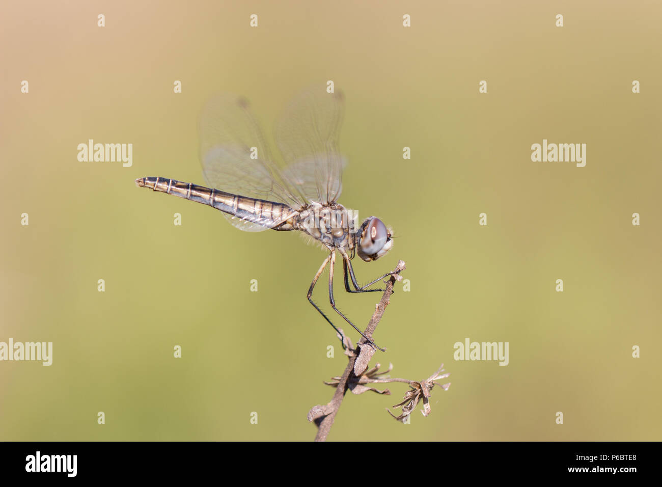 Selysiothemis nigra female dragonfly resting on a plant in Catalonia, Spain - Stock Image