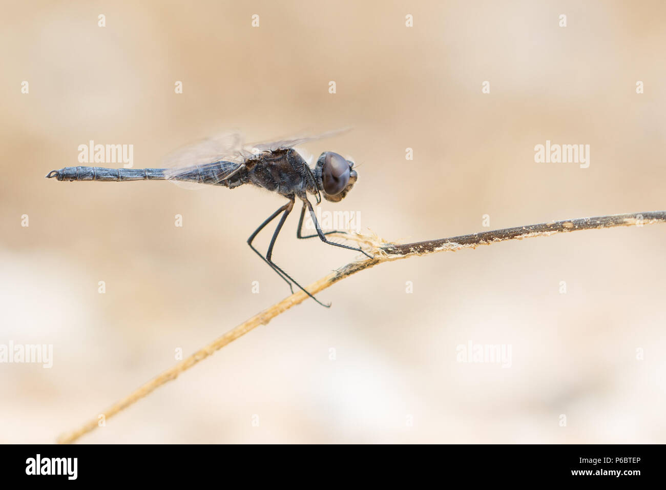 Dragonfly Selysiothemis nigra male resting on a plant in Catalonia, Spain - Stock Image