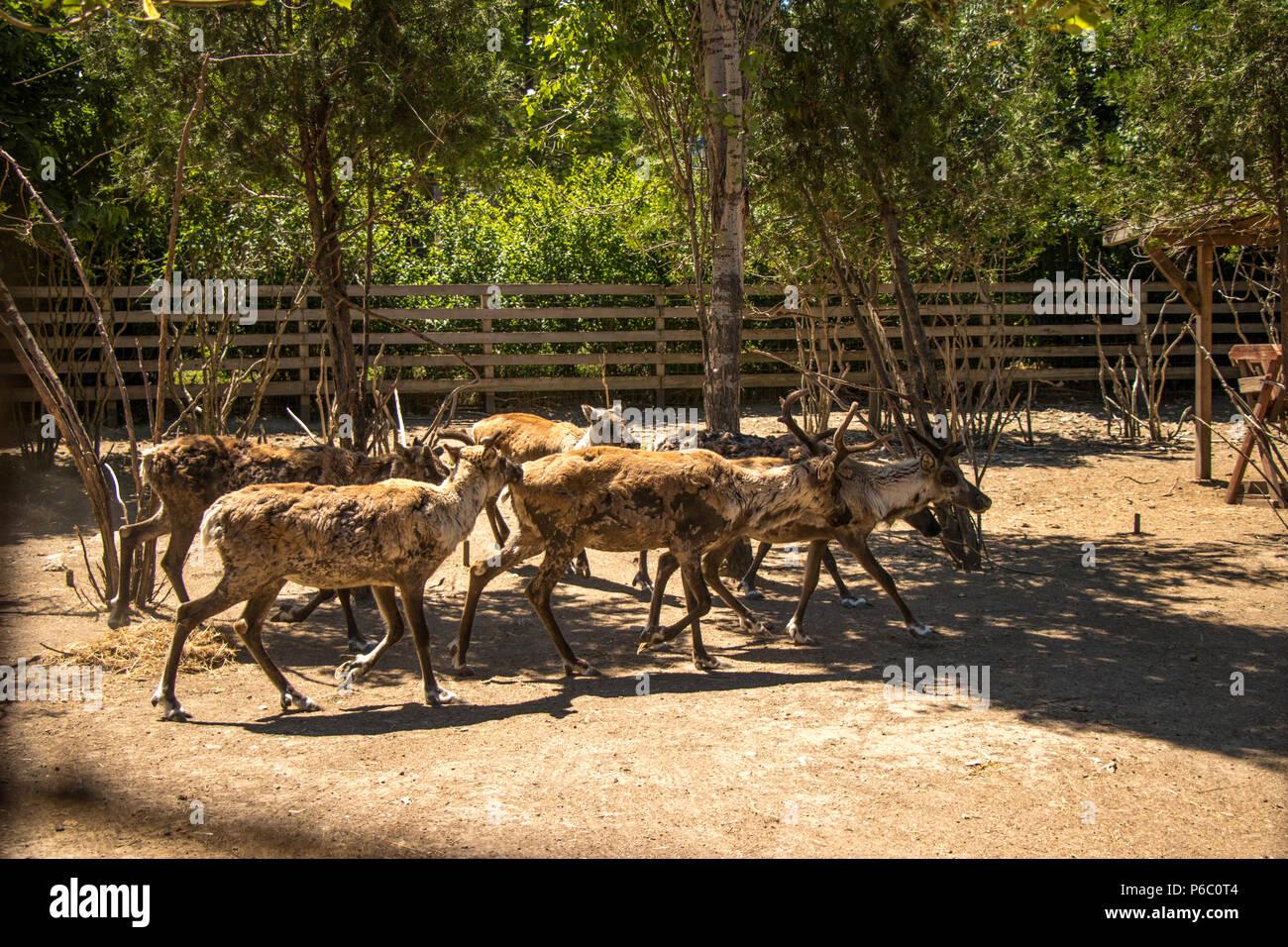 Reindeers running at zoo scene - Stock Image