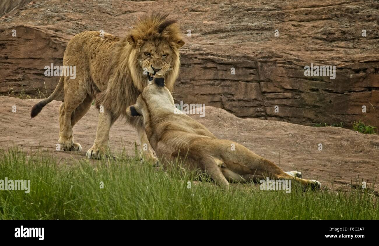 Lioness Snarl Stock Photos  Lioness Snarl Stock Images -2477