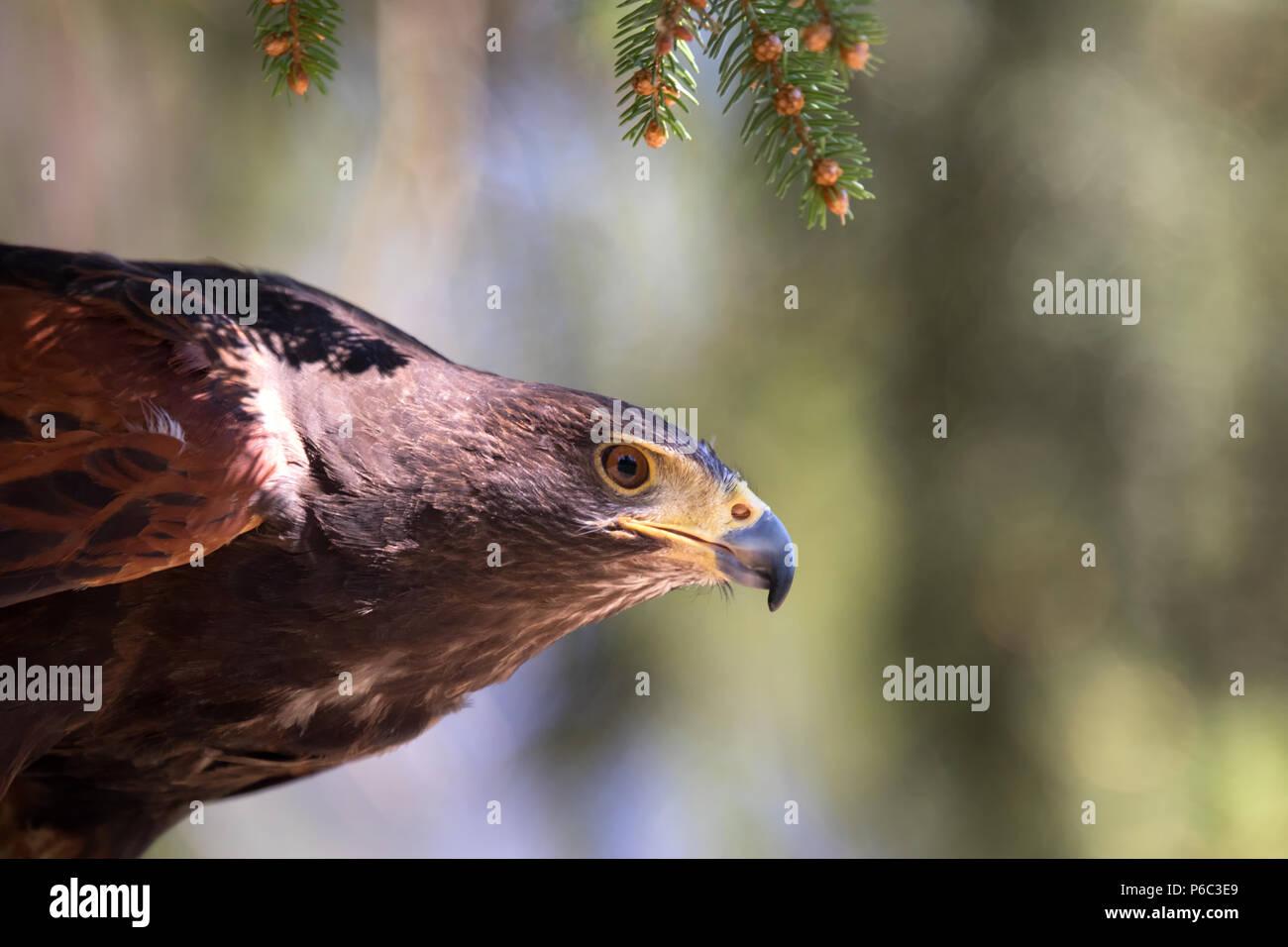 Harris Hawk - Parabuteo unicinctus, Western Germany - Stock Image
