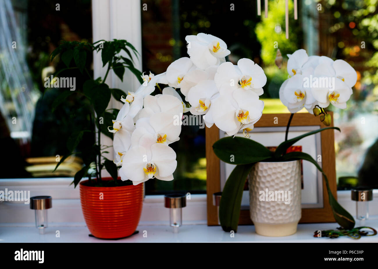 A white and yellow orchid (Phalaenopsis) growing from a white plant pot on a conservatory windowsill. - Stock Image