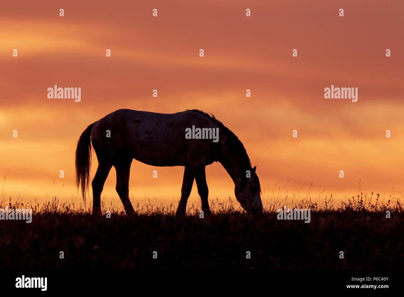 Wild horse at Sunset - Stock Image