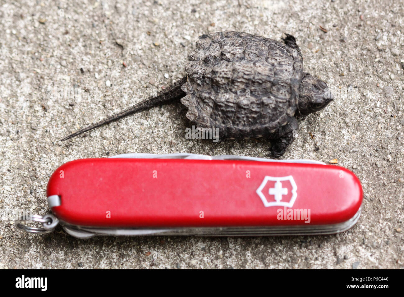 Baby Snapping Turtle - Stock Image