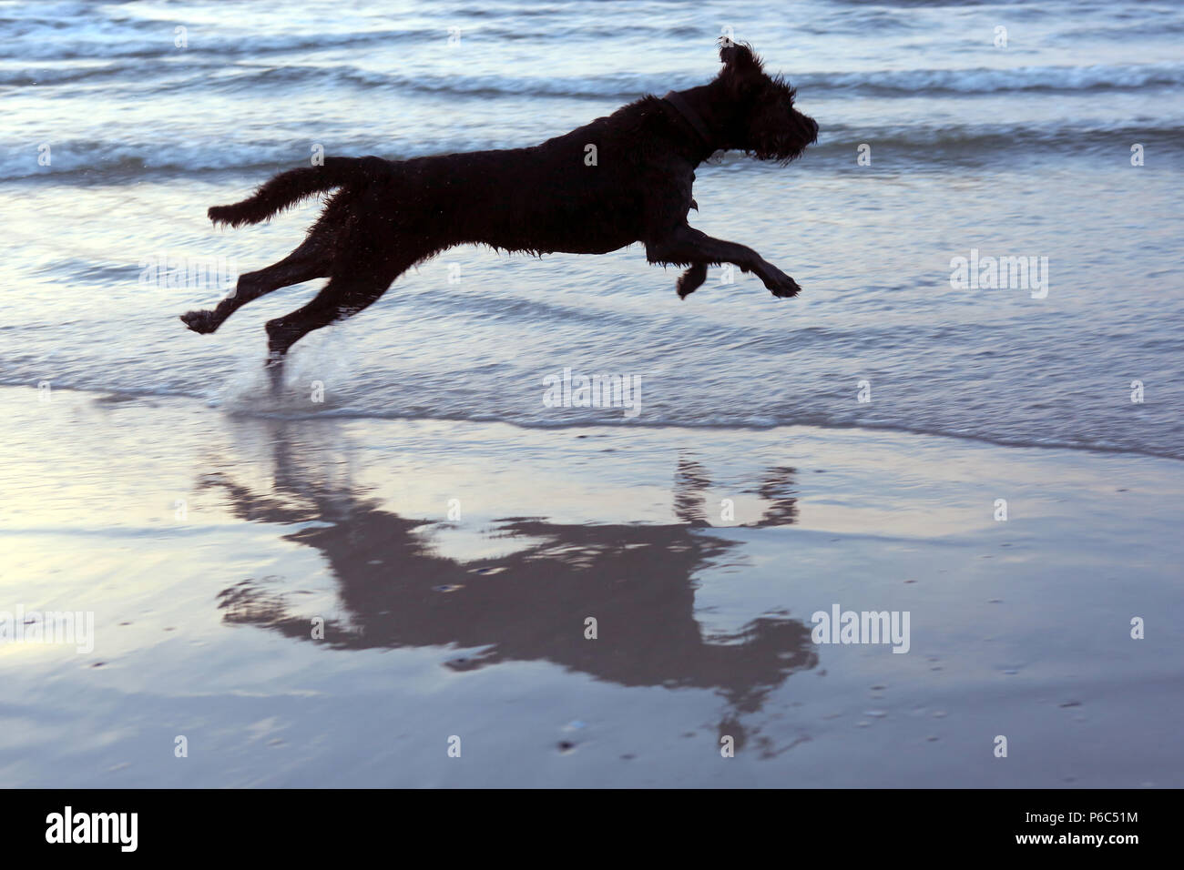 Wustrow, Germany - Riesenschnauzer runs free along the beach - Stock Image
