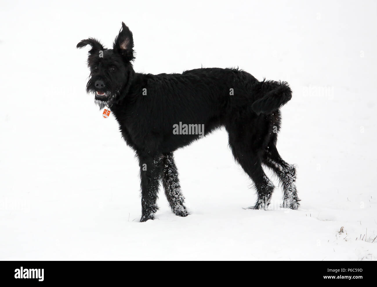 Werneuchen, Giant Schnauzer is standing in the snow - Stock Image