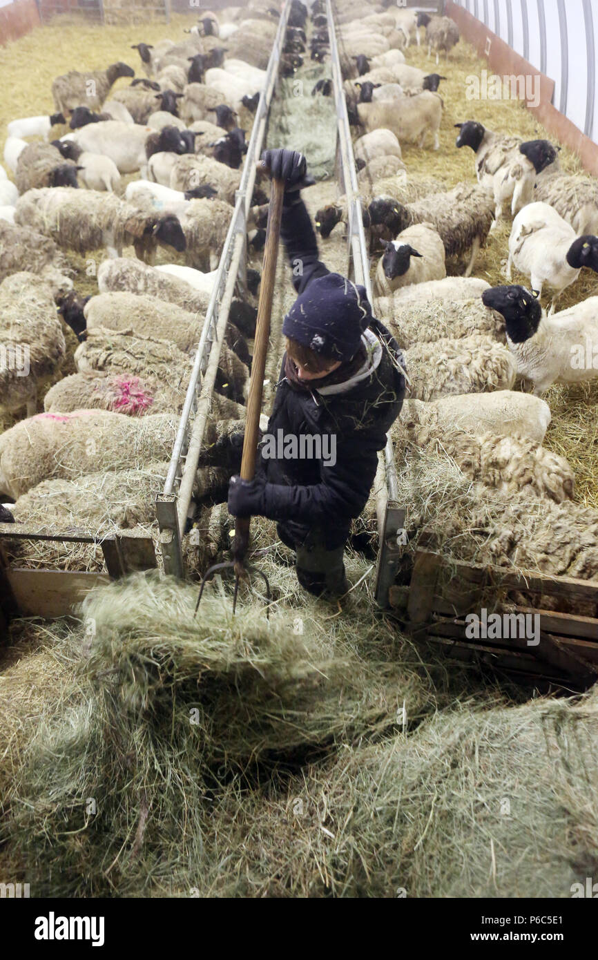 New Kaetwin, Germany - Boy feeds sheep in the stable with hay - Stock Image