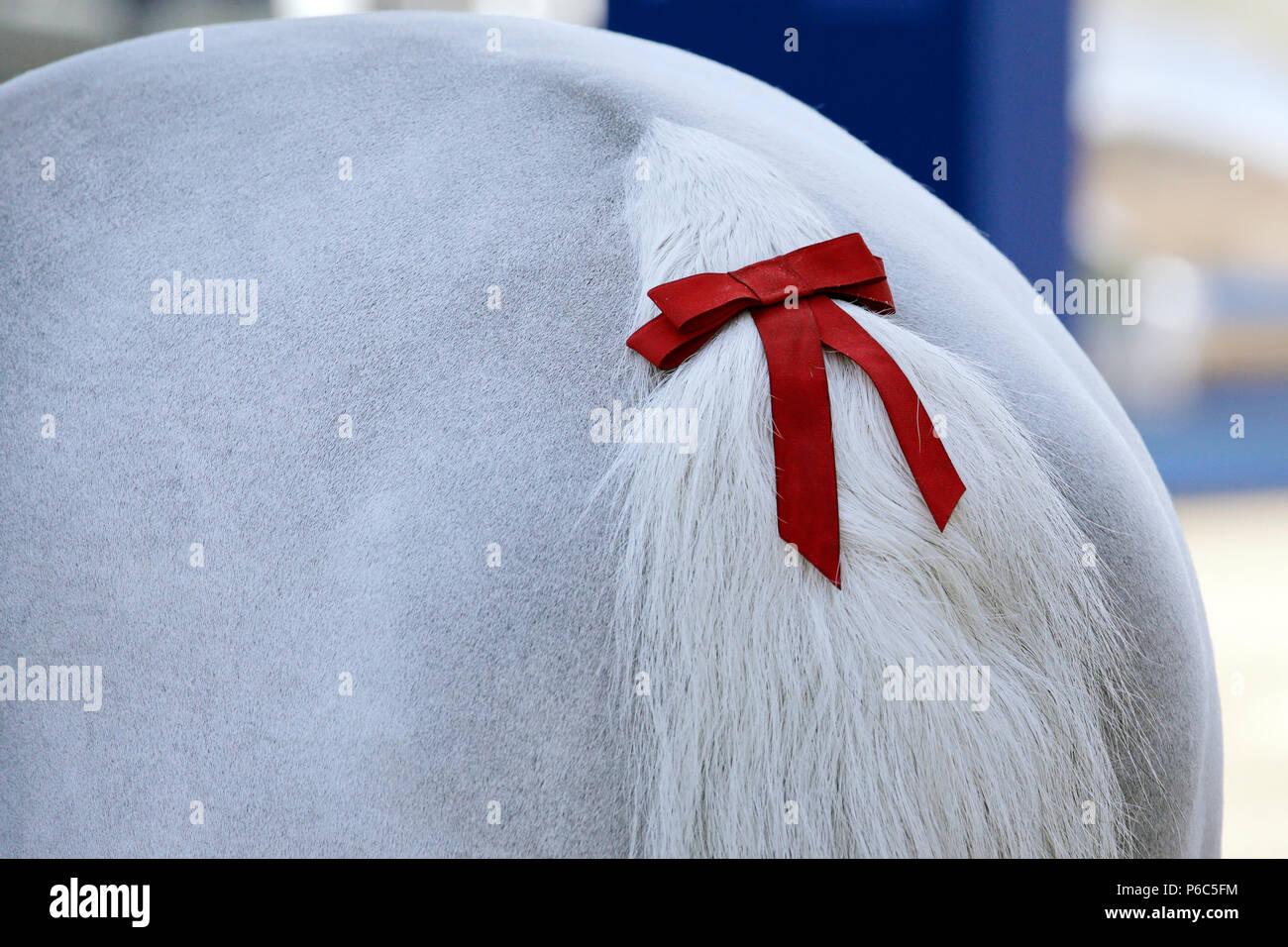 Doha, red bow in the tail of a horse - Stock Image