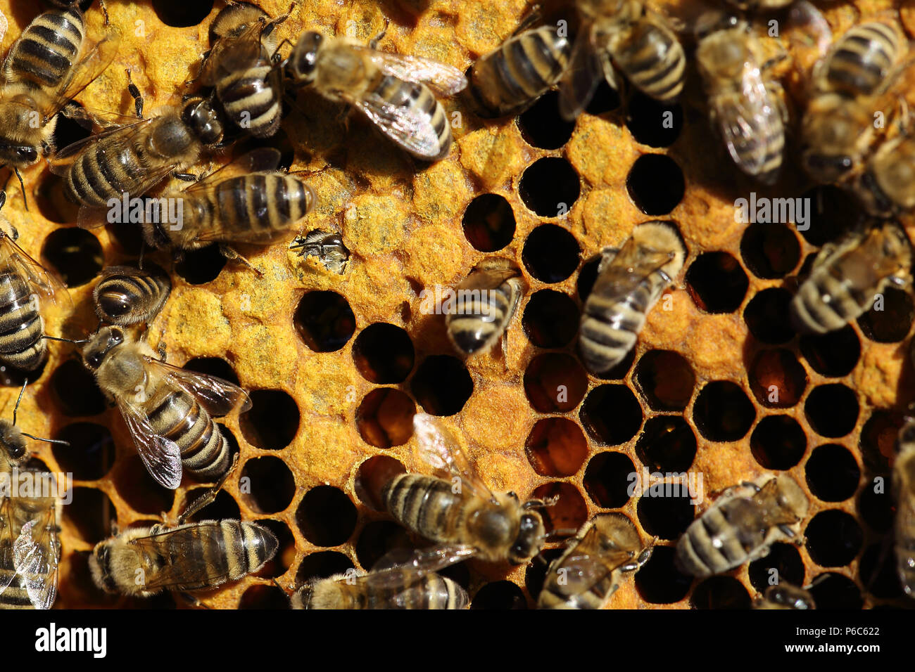 Berlin, Germany - honey bees on a honeycomb. In the middle of the left, a bee is slipping - Stock Image