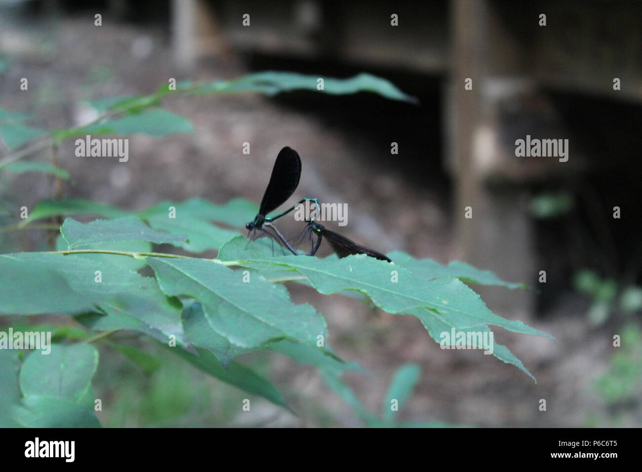 Dragonflies mating during spring time at park next to a creek - Stock Image