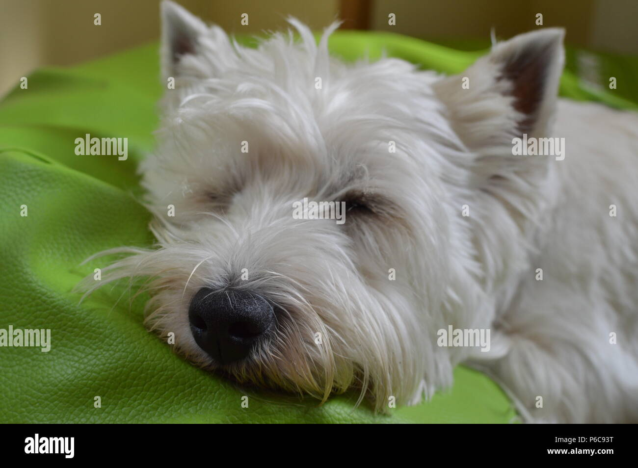 West Highland White Terrier Lying On His Bed Sleeping. Westy. Nature, Dog, Pet, Portrait. May 26, 2018. Madrid. Spain. - Stock Image