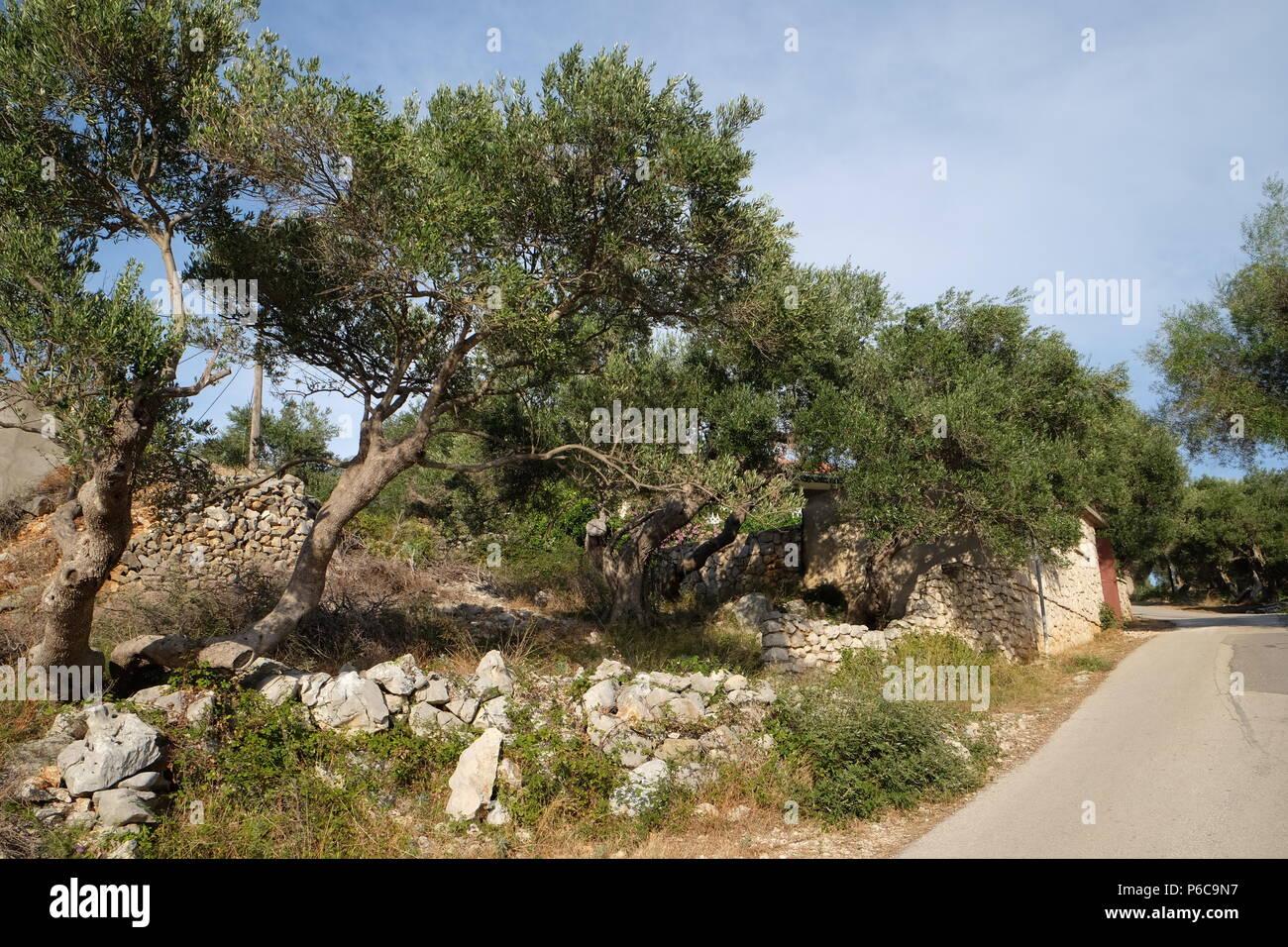 Olive Tree Island Pag Croatia Stock Photos & Olive Tree Island Pag ...