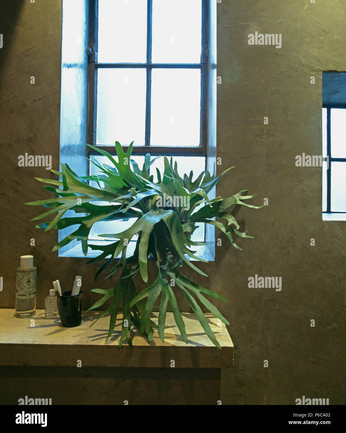 Close-up of staghorn fern on windowsill in modern bathroom with polished concrete walls - Stock Image
