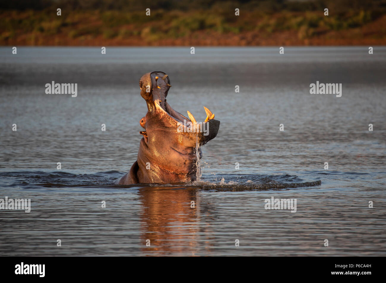 Hippopotamus - Hippopotamus amphibius with wide gaping yawn as its head emerges from a lake in South Africa - Stock Image
