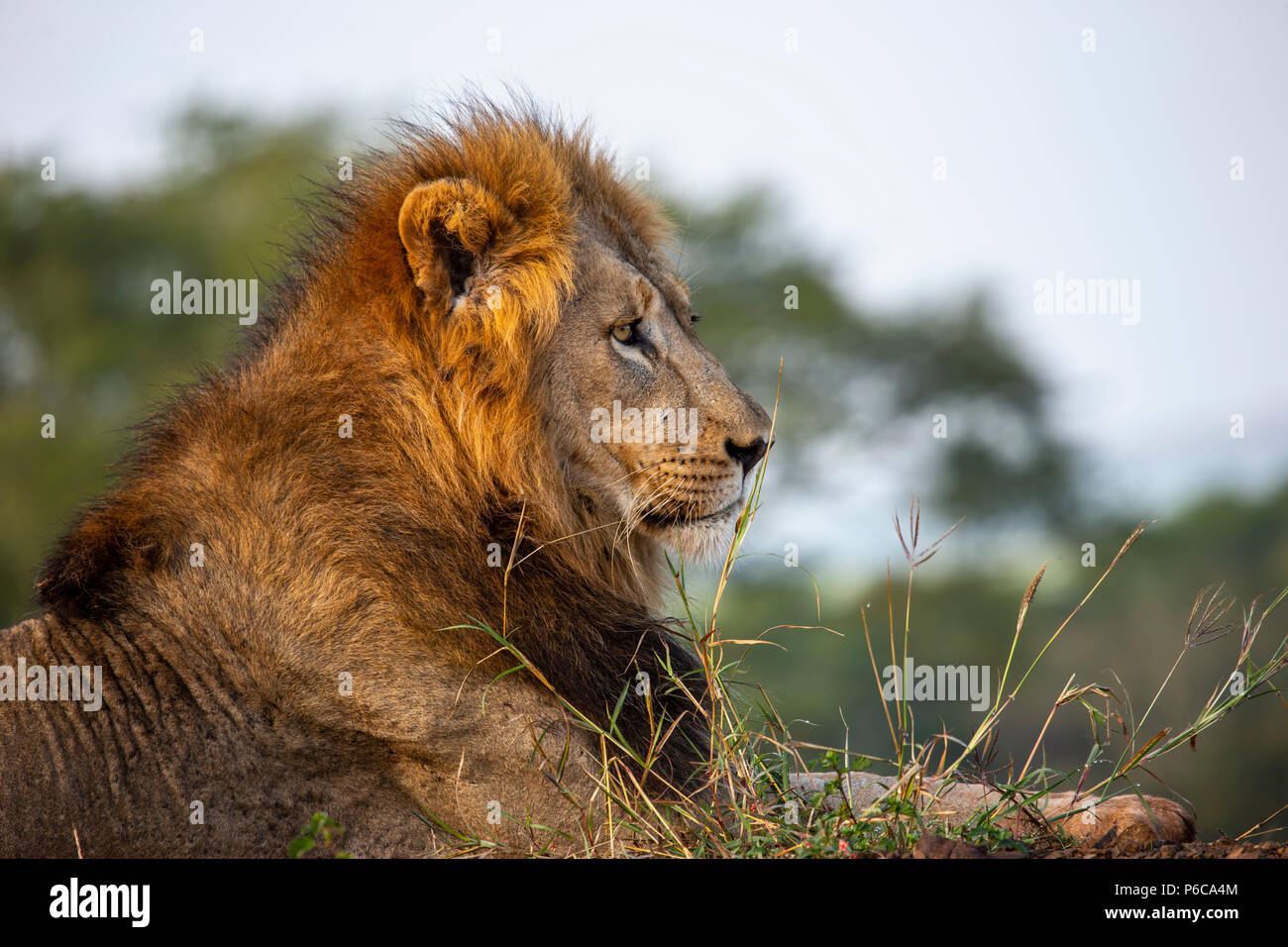 Close up headshot of male lion Panthera leo in the early morning sunlight - Stock Image