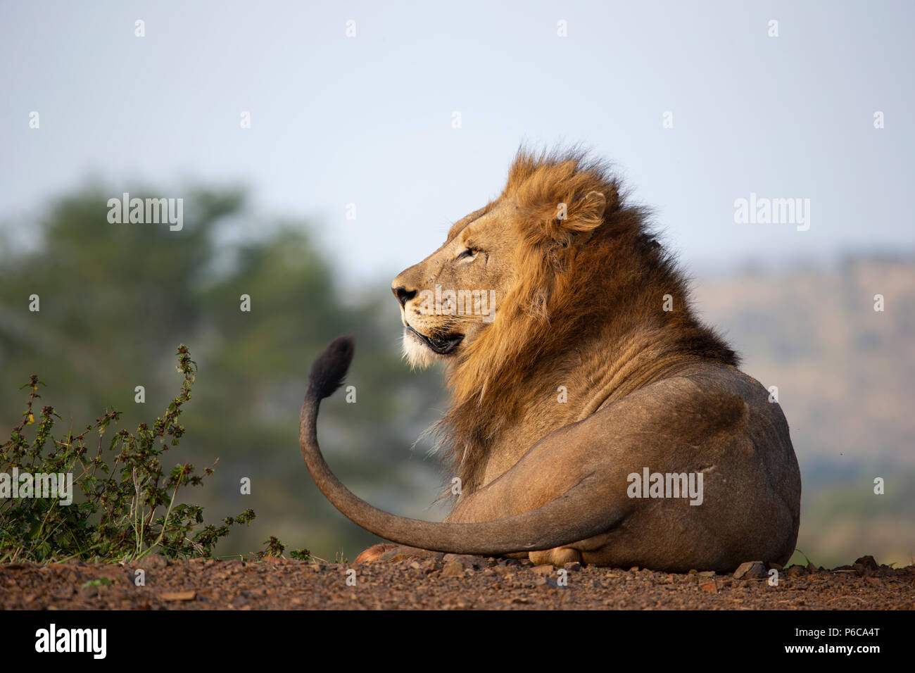 Male Lion Panthera leo resting in the early sunlight in Zimanga private game reserve, South Africa - Stock Image