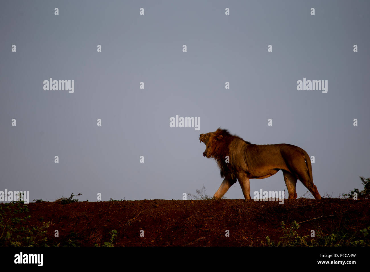 Male Lion Panthera leo roaring in the early light from the top of a dam wall - Stock Image