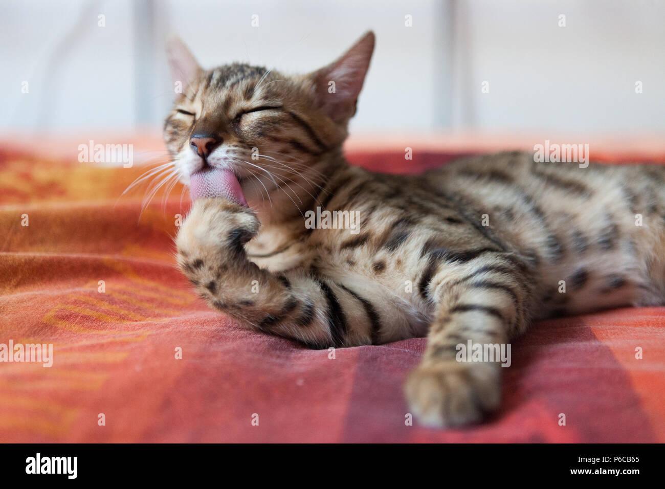 Bengal cat washing itself - Stock Image