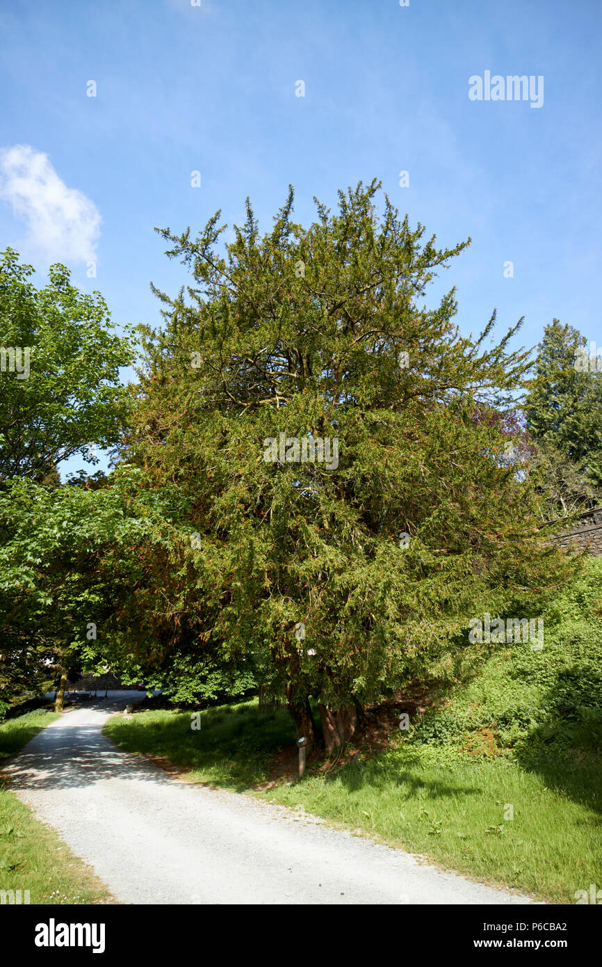 large yew tree taxus baccata in the lake district cumbria england uk Stock Photo