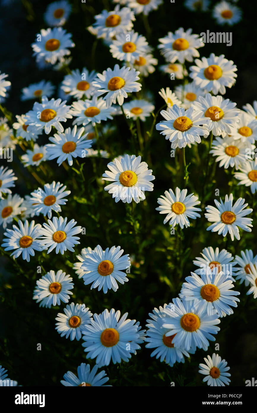 Lovely Blossom Daisy Flowers Background Beautiful View From Above