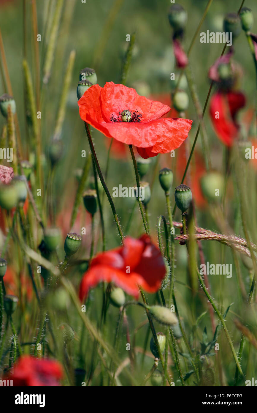 Common Poppy,  Papaver rhoeas, in flower, it is an annual herbaceous species of flowering plant - Stock Image