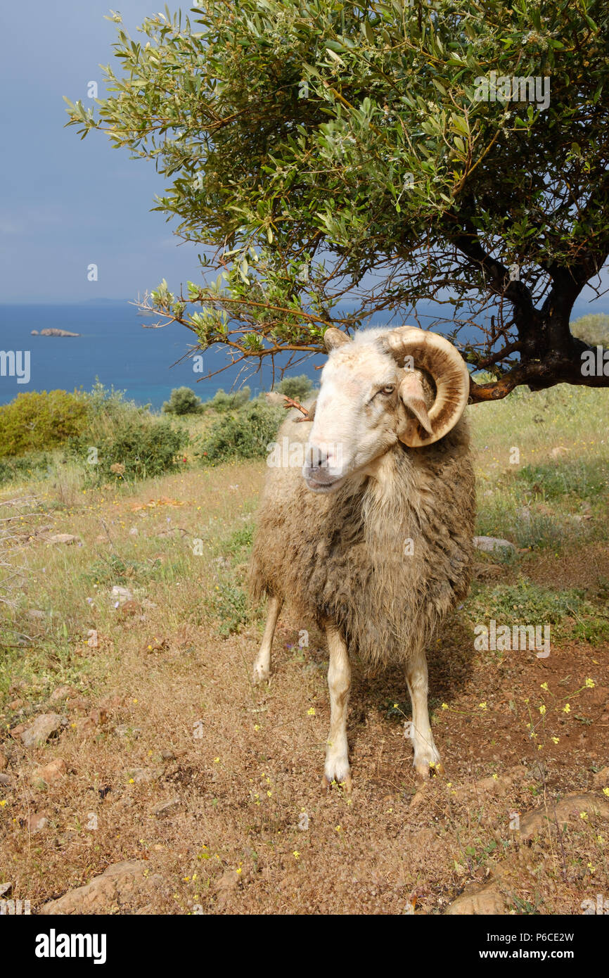 Male Greek Horned mountain sheep in his nature environment on the Mountains in the hills of Saronida, during early evening, East Attica, Greece. Stock Photo