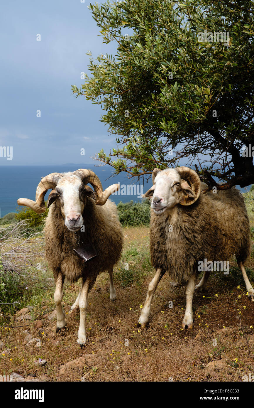 Two Male Greek Horned mountain sheep in his nature environment on the Mountains in the hills of Saronida, during early evening, East Attica, Greece. Stock Photo