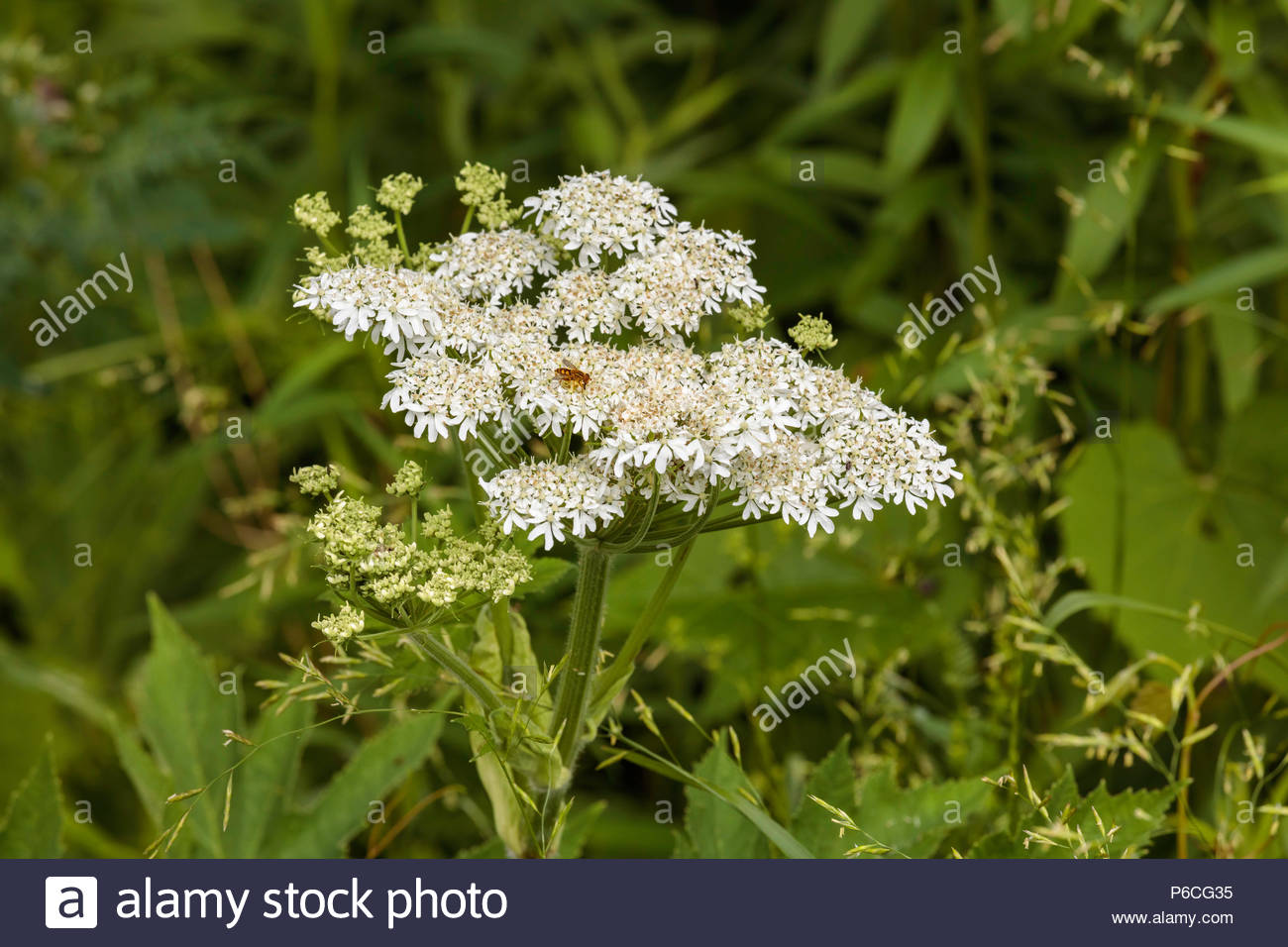 Heracleum maximum, cow parsnip, Indian celery, Indian rhubarb, pushki, at Lynde Shores Conservation Area in Whitby Ontario Canada - Stock Image