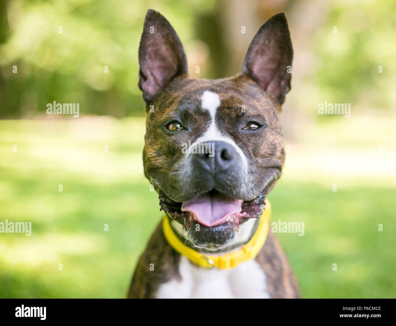 Boxer Dog Ears Stock Photos Boxer Dog Ears Stock Images Alamy