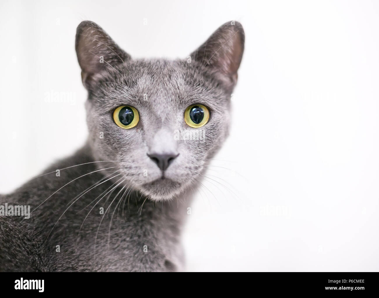 A wide-eyed gray domestic shorthair cat with large yellow eyes and dilated pupils - Stock Image