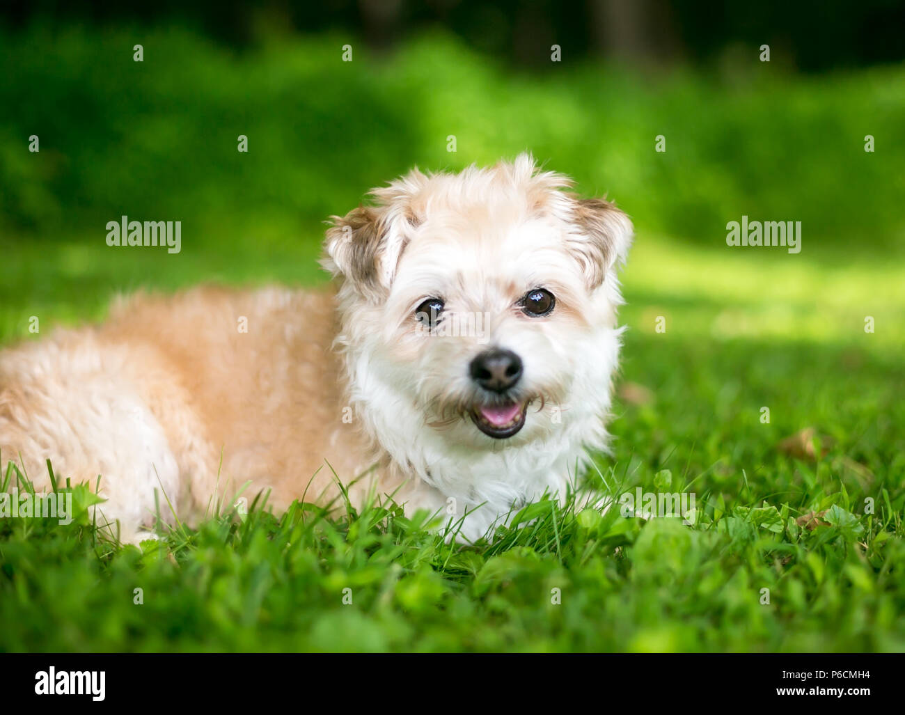 A cute Miniature Poodle / Pomeranian mixed breed dog lying in the grass - Stock Image