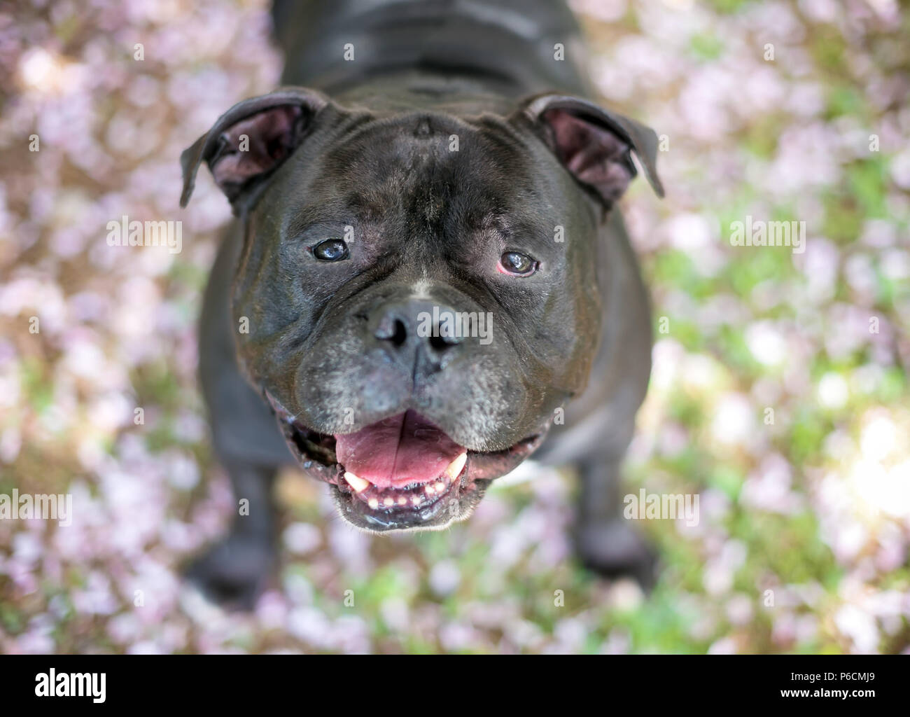A Staffordshire Bull Terrier dog with a happy expression - Stock Image