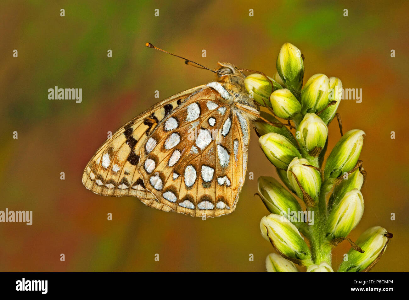 Ventral view of a Coronis Fritillary butterfly, Speyeria coronis, on the fresh buds of a wildflower in the Cascade Mountains of central Oregon near th - Stock Image