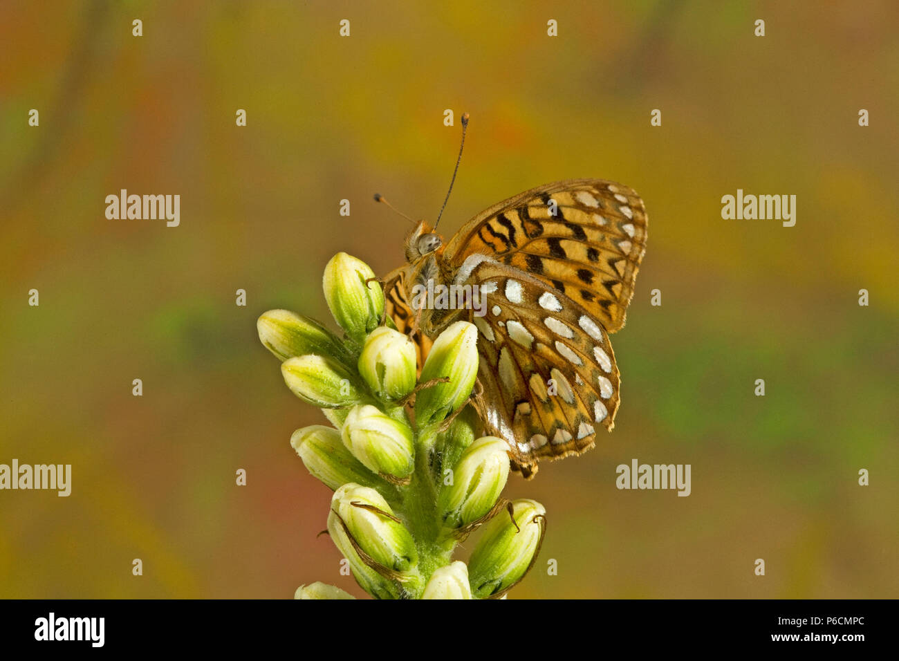 Ventral view of a Northwestern Fritillary butterfly, Speyeria hesperis, on the fresh buds of a wildflower in the Cascade Mountains of central Oregon n - Stock Image