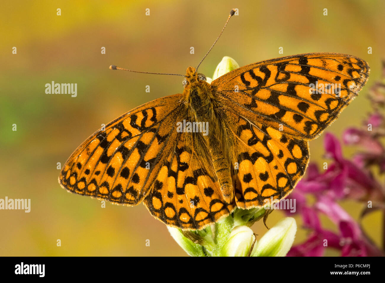 Dorsal view of a Northwestern Fritillary butterfly, Speyeria hesperis, on the fresh buds of a wildflower in the Cascade Mountains of central Oregon ne - Stock Image