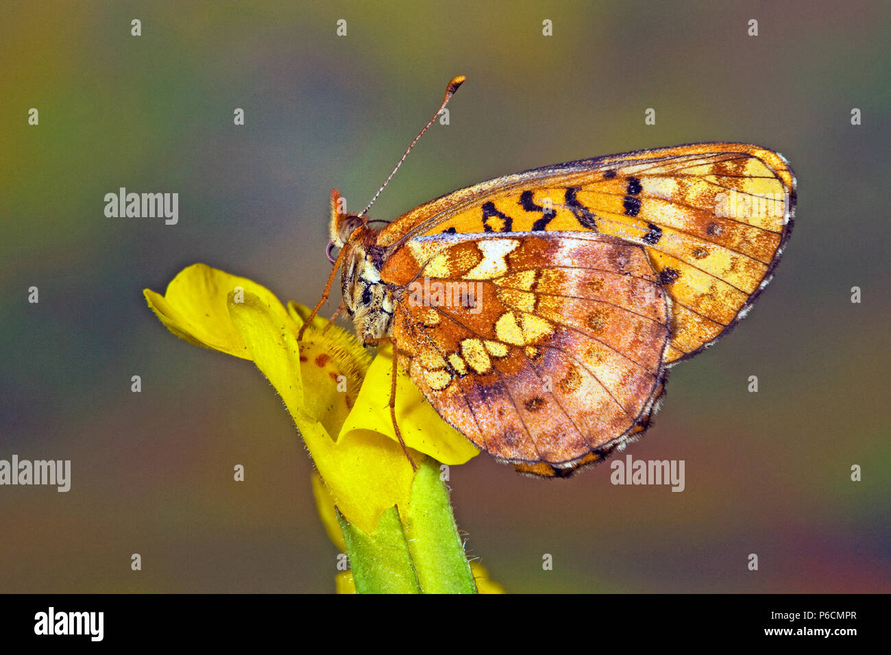 Ventral view of a western meadow fritilllary butterfly, Boloria epithore, along the Fall River in the Cascade Mountains of central Oregon. - Stock Image