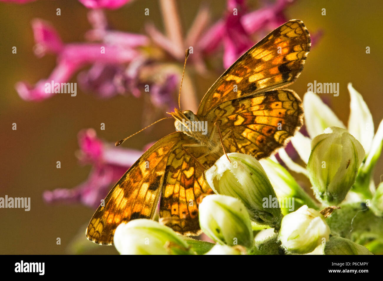 Ventral detail of a field crescent butterfly, Phyciodes pulchella, on the bud of a wildflower in the Cascade Mountains of central Oregon. - Stock Image