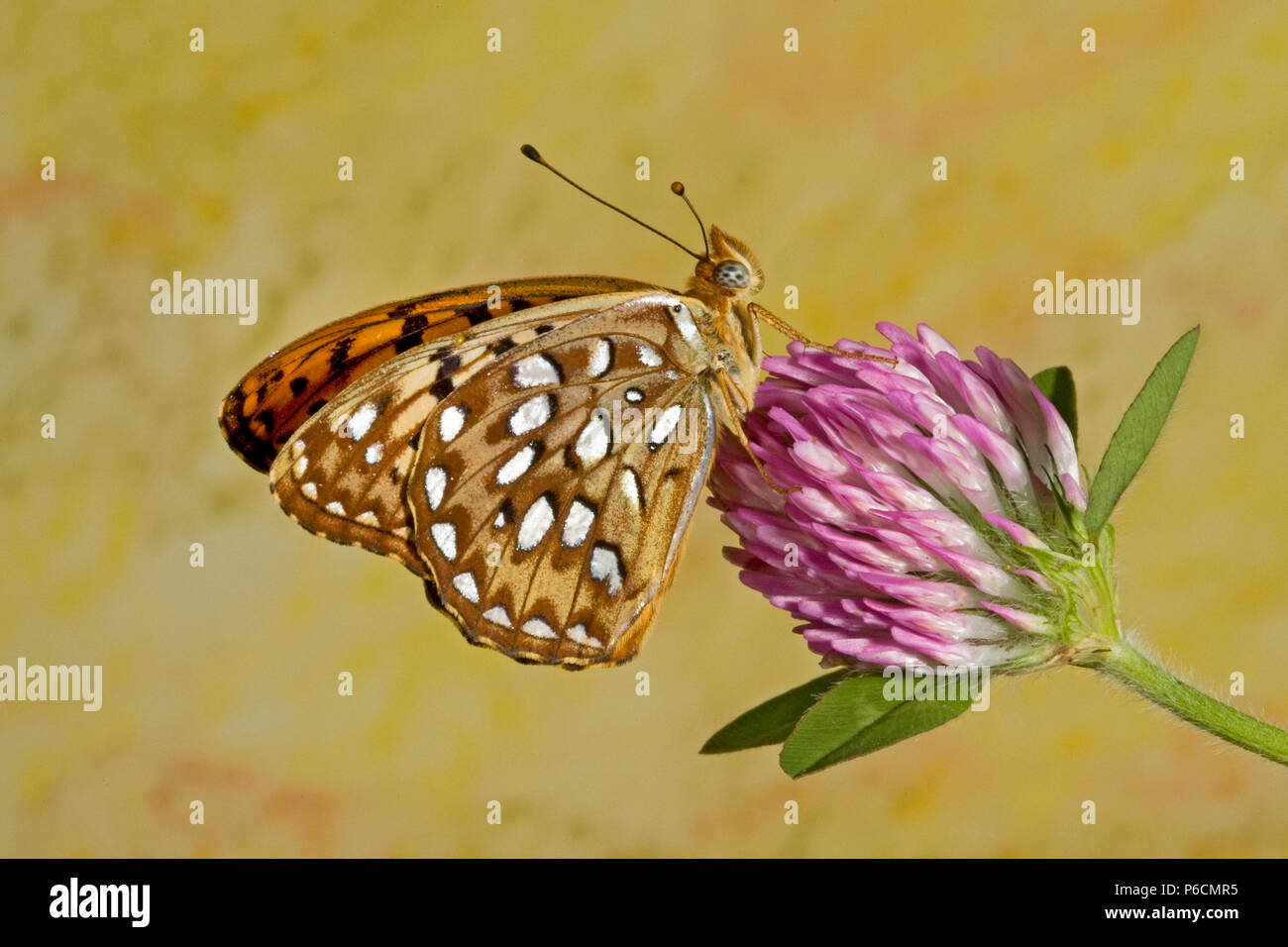 Portrait of a callippe fritillary butterfly, Speyeria callippe, on a wildflower in the Metolius basin of central Oregon. - Stock Image