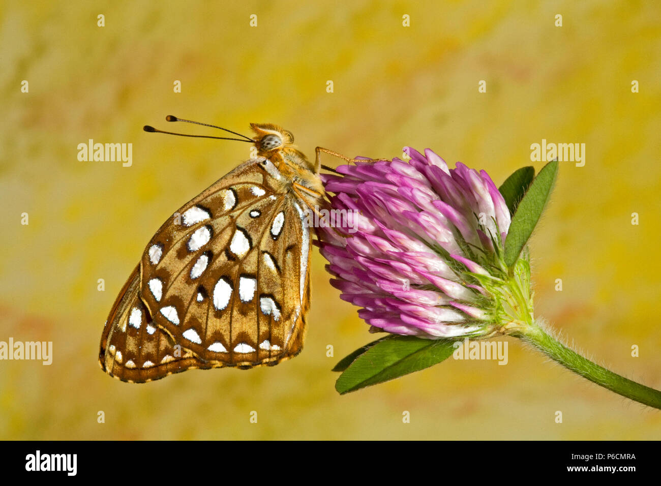 Portrait of a zerene fritillary butterfly, Speyeria zerene, on a wildflower in the Metolius basin of central Oregon. Stock Photo